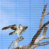 Powerful osprey surveys the area as he stretches his wings before taking flight.