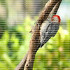 Male Red Bellied Woodpecker with feathers puffed out showing it's red belly feathers