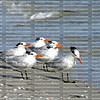 Close up of a flock of royal terns at the water's edge in Fort Myers Beach.