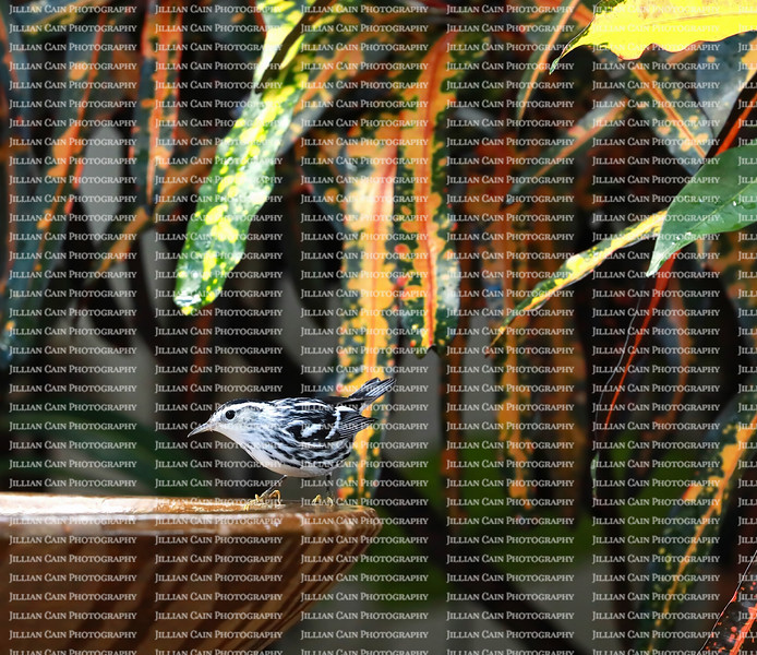 Black and White Warbler getting ready to take a dip in a backyard bird bath.
