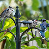 Mother blue jay feeding her 2 babies in a tropical garden.