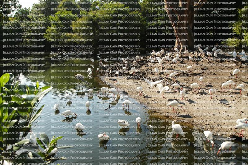 Beautiful birds, ibis colony