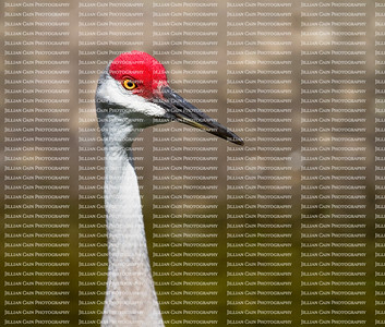 close up of a sandhill crane