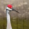close up of a sandhill crane