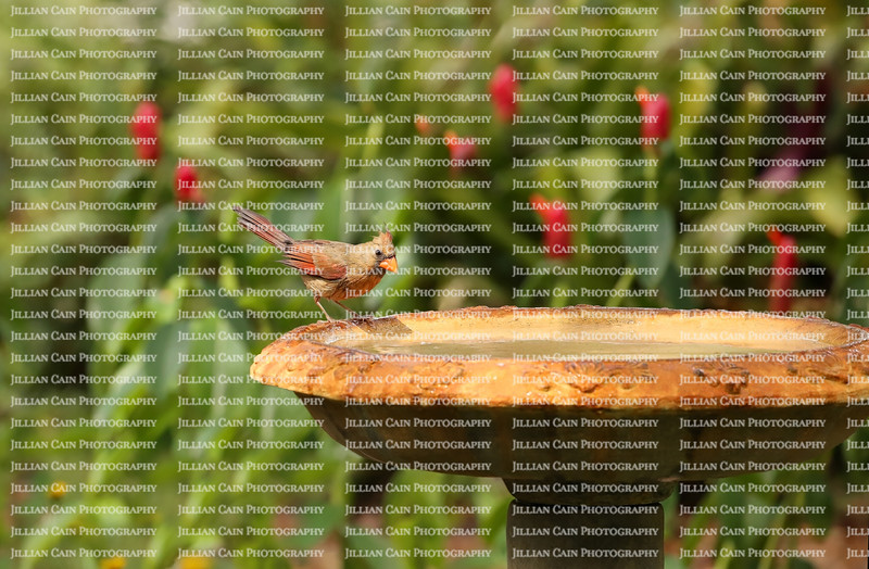 Female cardinal at a bird bath