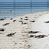 A flock of black skimmers stand, walk and sleep at the surf's edge in Fort Myers Beach, close to a family enjoying the blue waters of the Gulf of Mexico.