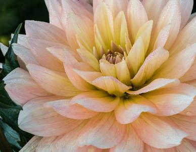 Dew Drops on Pink Dahlia