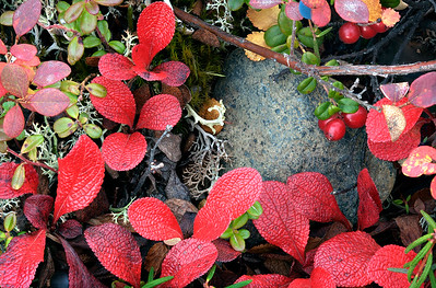 Bear Berries and Rock
