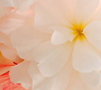 White Tuberous Begonia II