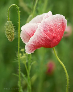 Red and White Poppy