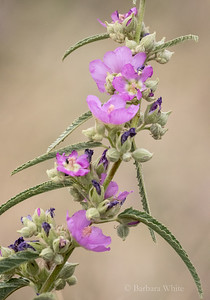Copper Globe Mallow