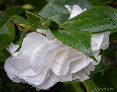 Camellia In The Rain