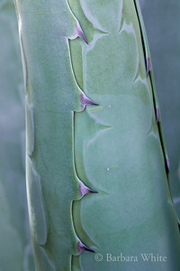 Agave Detail