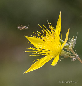 Blazing Star and Bee