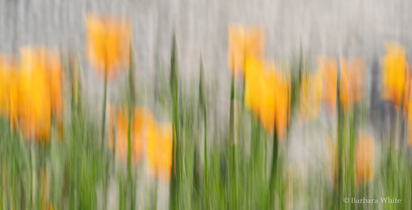 Poppies in the Abstract