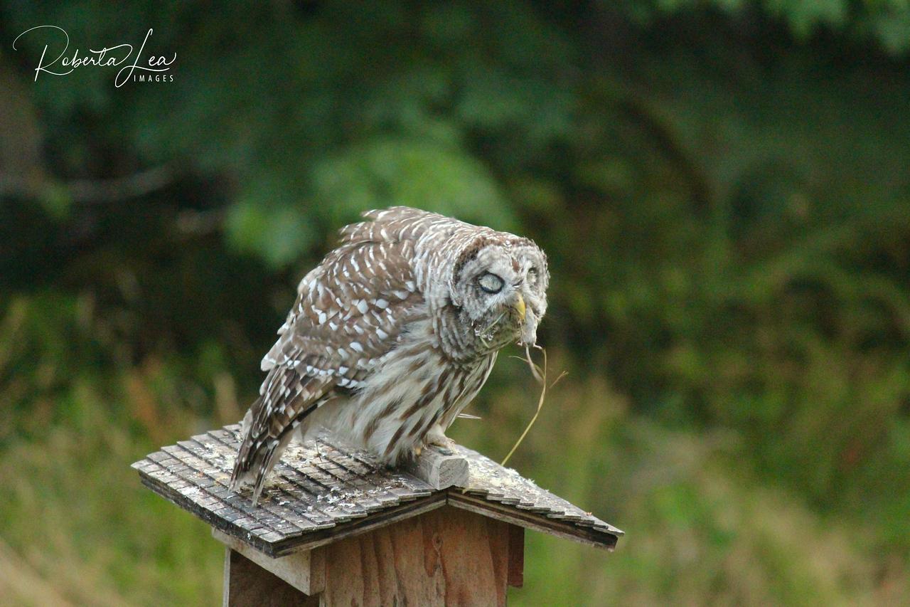 Barred Owl, Breakfast down the hatch
