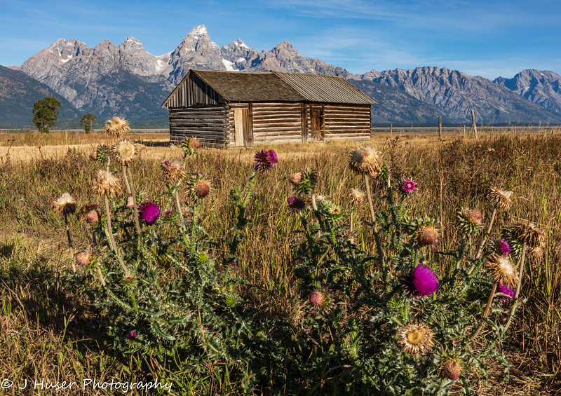 Flowers and log cabin in front of Teton mountains
