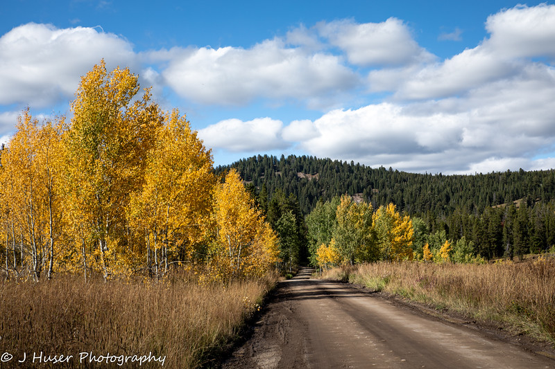 Golden Aspen in afternoon light along a dirt road