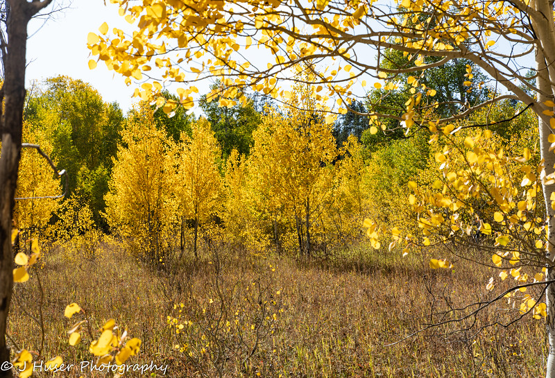 Golden Aspen backlit by the sun
