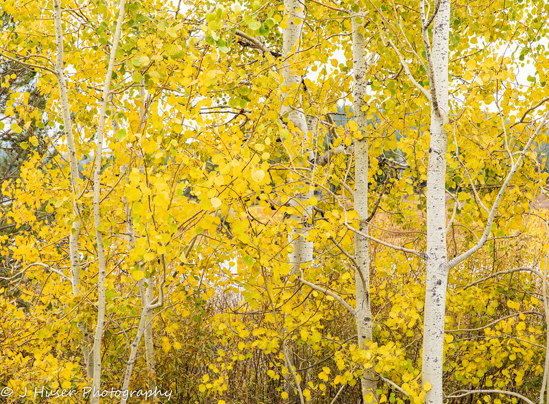 Closeup of a stand of golden Aspen