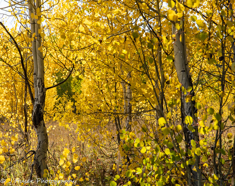 Closeup of stand of golden Aspen in afternoon light