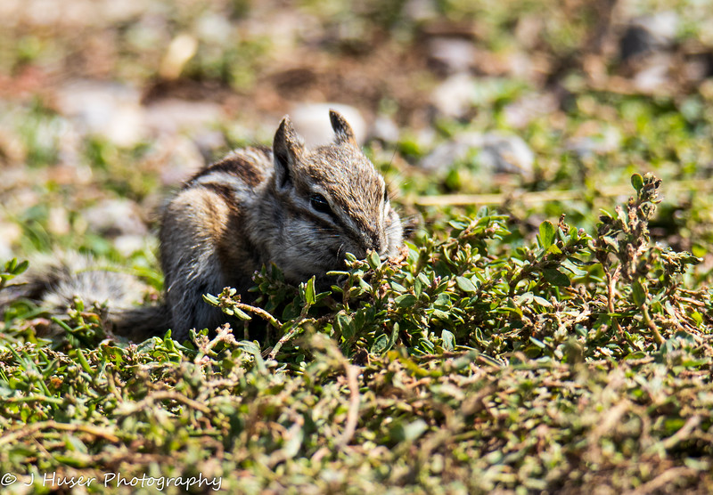 Closeup of chipmunk eating in green plants
