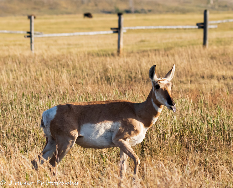 Pronghorn antelope sticking out tongue