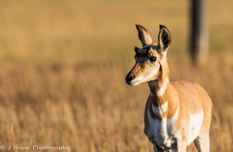 Closeup of young Pronghorn Antelope