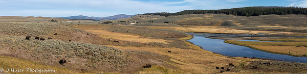 Buffalo in Lamar Valley