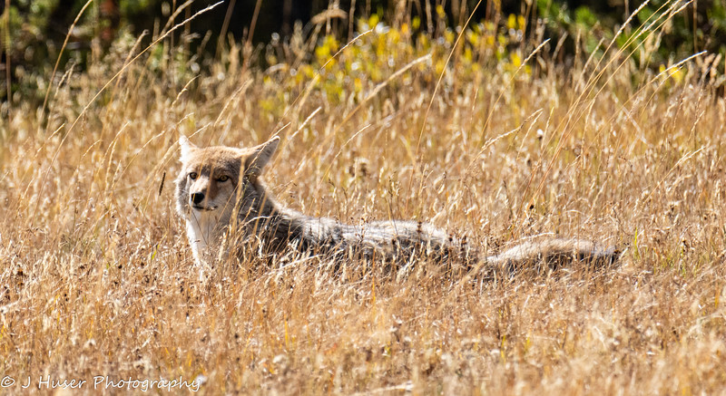 Coyote resting in long grass