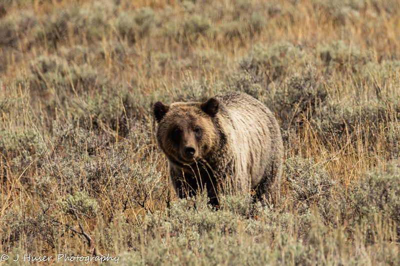 Grizzly bear facing camera