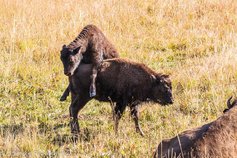 Playful Bison calves