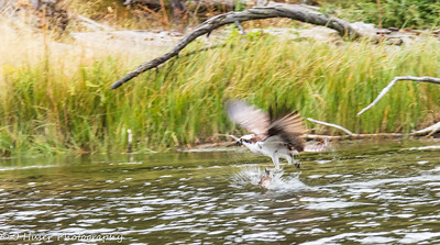 Osprey with fish leaving water