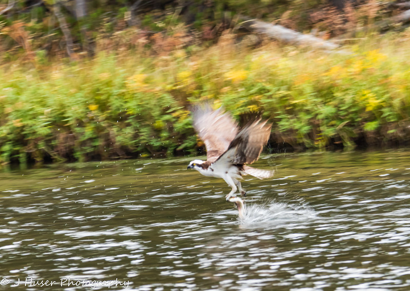 Osprey flying away with a fish