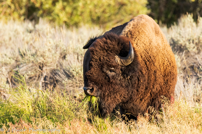 Bison with a mouthful of green grass
