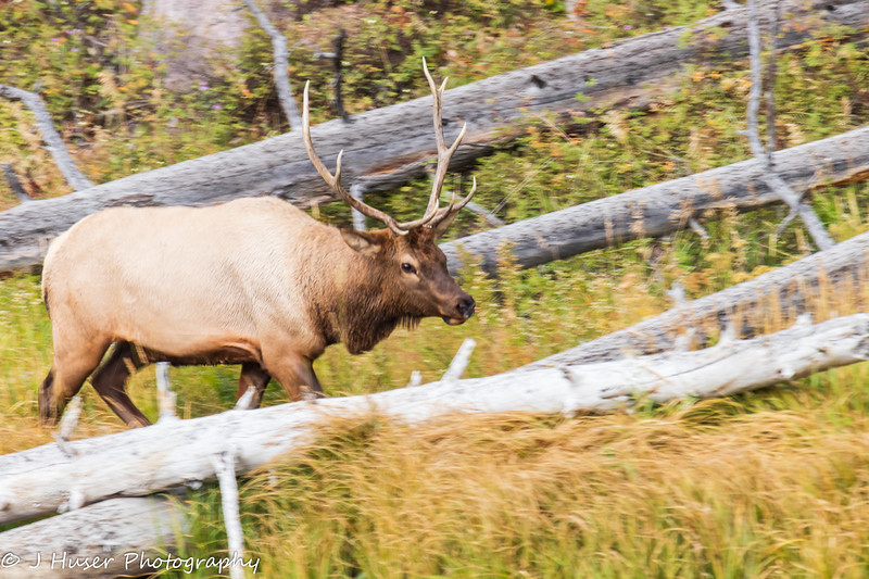 One bull elk moving through downed trees