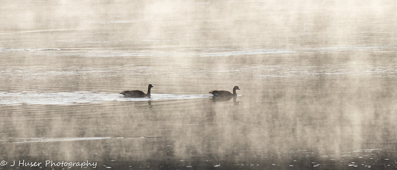 Geese swimming in morning fog