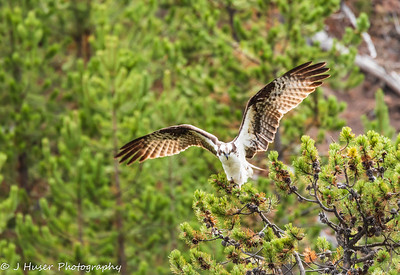 Osprey with wings extended