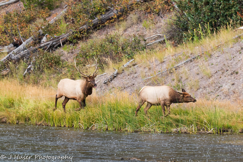 Bull Elk chasing female elk along Madison river