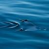 Devil Fish (Mobula) skims the surface of the Sea of Cortéz. Mexico 2010.