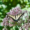 Tigerswallowtail female (on Joe Pye Weed)