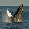 Humpback whale off Bar Harbor, Maine. 2012