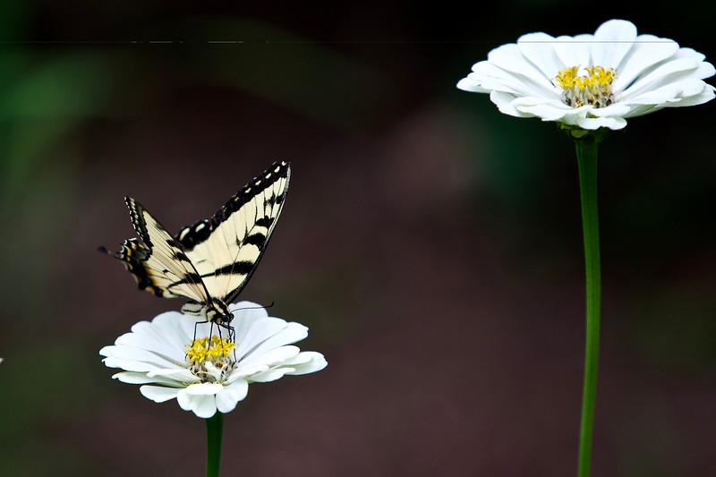Eastern Tiger Swallowtail Butterfly on zinnia. USA 2015.
