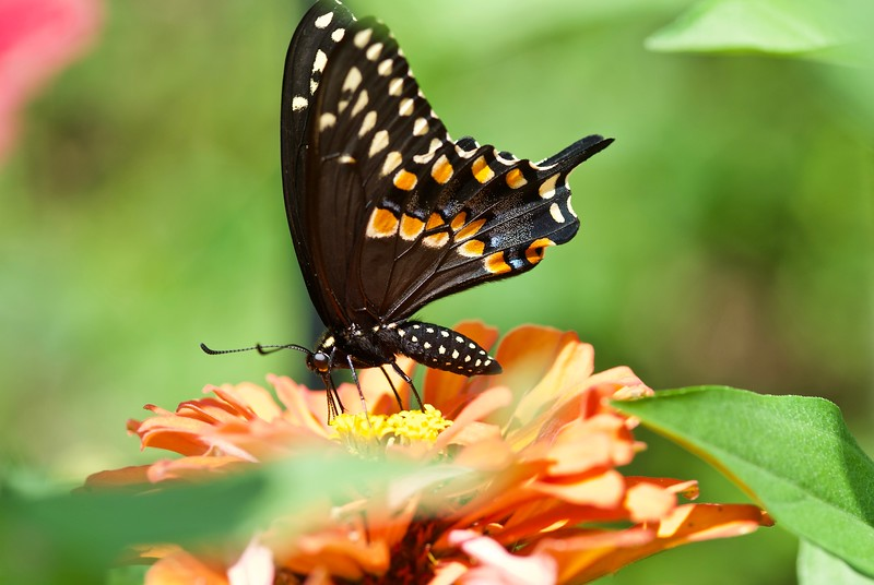 Black Swallowtail butterfly, August 2019