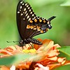 Black Swallowtail butterfly, August 2019