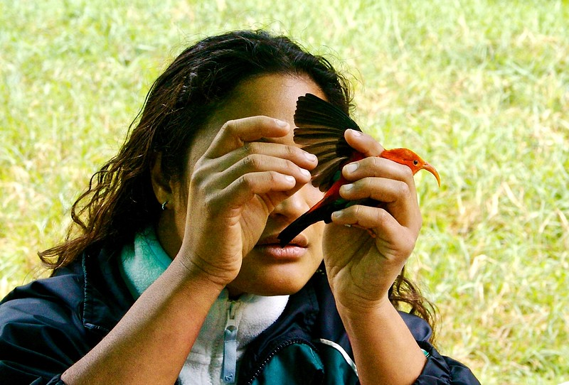Examining  an endangered I'iwi before releasing it. Hawaii 2006