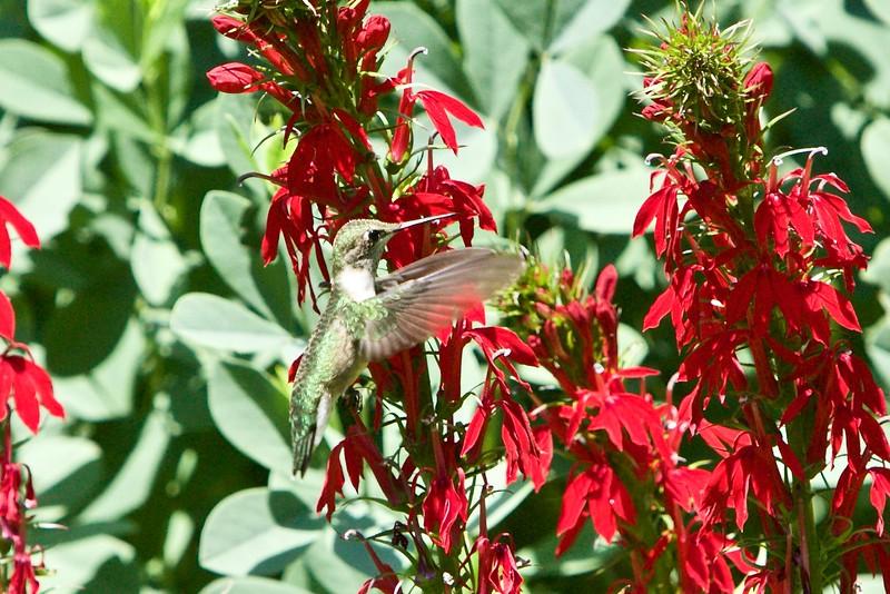 Rubythroated Hummingbird