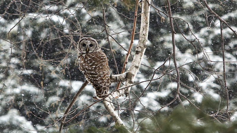 Barred  owl in snow.  USA 2015.