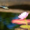 dragonfly freedom