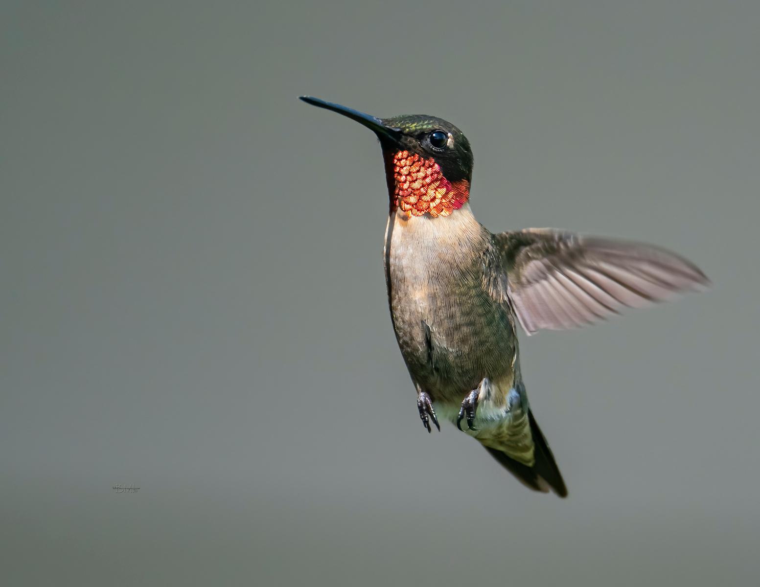 IMAGE: https://photos.smugmug.com/Beautyinthetreesandintheair/Birds-in-2021/Hummingbirds-2021/i-2r9cvJD/0/39ef99c9/X3/RT%20Hummingbird_9_9-7-21-X3.jpg